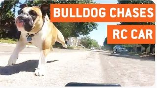 Bulldog Chases RC Car | Doggy Workout