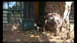Jessica the Hippo