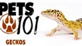 Pets 101- Geckos