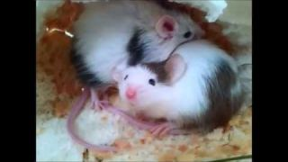 My new pet mice