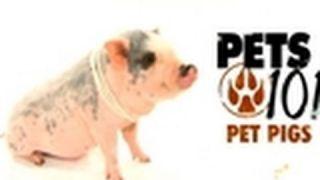 Pets 101- Pet Pigs