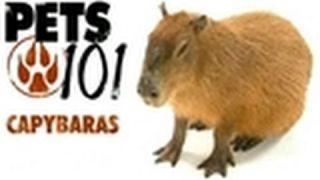 Pets 101- Capybaras
